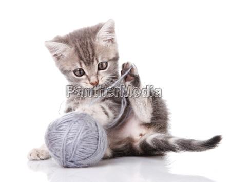 funny gray kitten