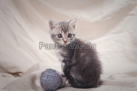 striped gray kitten
