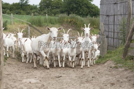 herd of white goats
