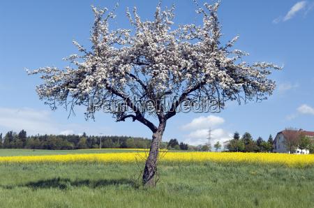 apfelbaum apfelbluete