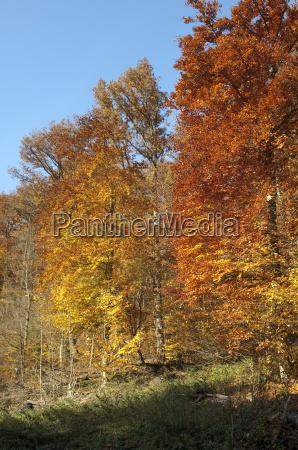 buchenwald herbst herbstblaetter