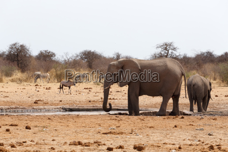 herde afrikanischer elefanten an einem wasserloch