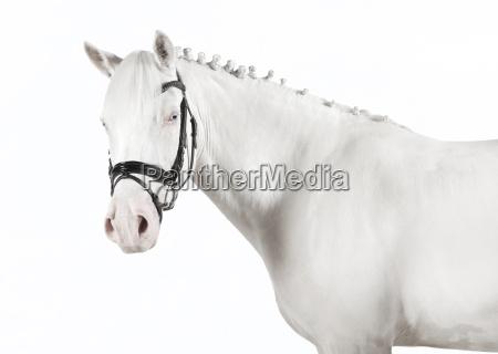 isolated white pony