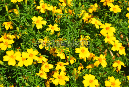 schmalblaettrige studentenblume tagetes tenuifolia