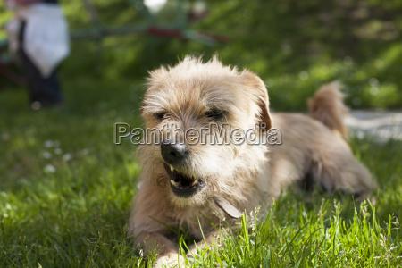 zorniger hund