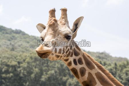 chiudere faccia guardare osservare giraffa tener