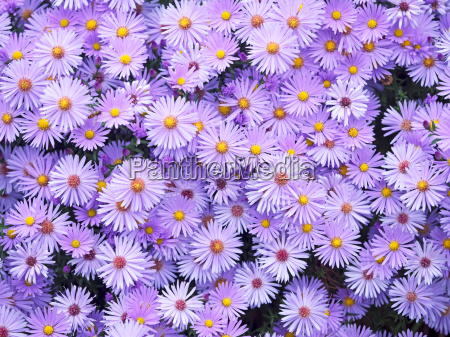 lila astern im herbst