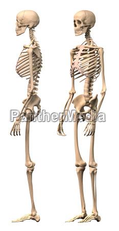 maennlich menschliches skelett zwei ansichten seiten