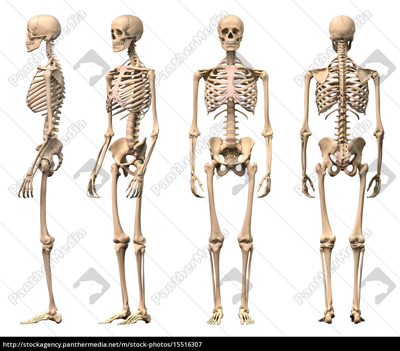 Lizenzfreies Bild 15516307 - männlich menschliches skelett vier ansichten  vorne hinten . 2abe8cc031a14