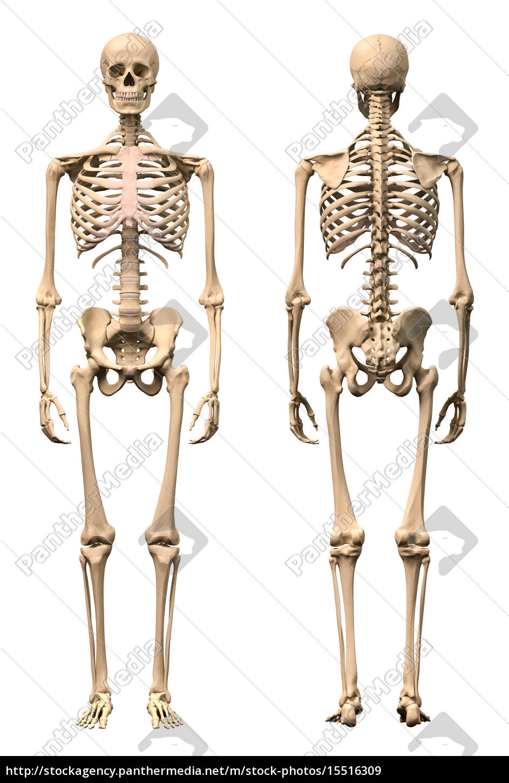 Stockfoto 15516309 - männlich menschliches skelett zwei ansichten vorne und  . 1df249a372cc4