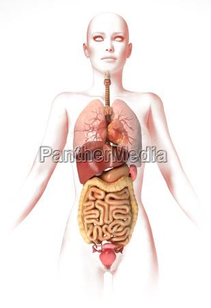 frau körper,mit inneren organen. anatomie - Stockfoto - #15520071 ...