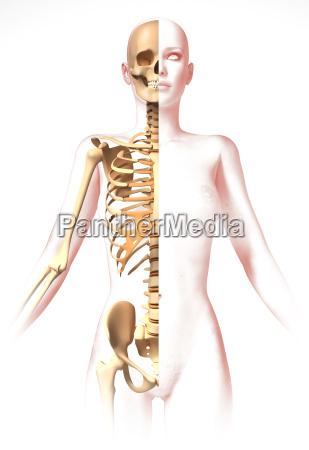 frau körper,mit dem skelett. anatomie - Lizenzfreies Bild ...