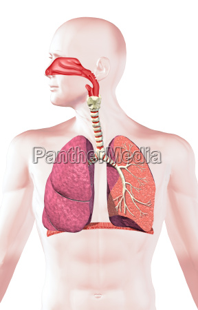 human respiratory system cross section