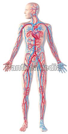 menschliches kreislaufsystem volle zahl schnittanatomieillustration mit