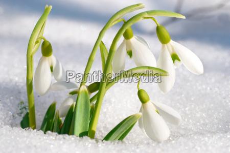 fruehling schneegloeckchen blumen