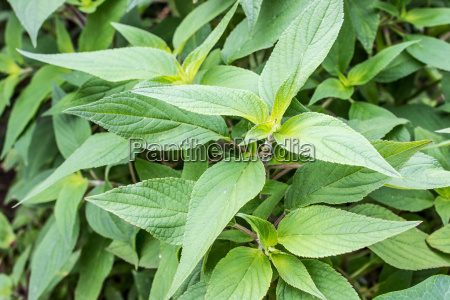 green leaves of melon sage