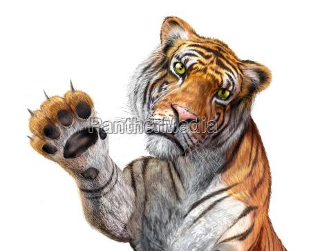 tiger in der naehe mit blick