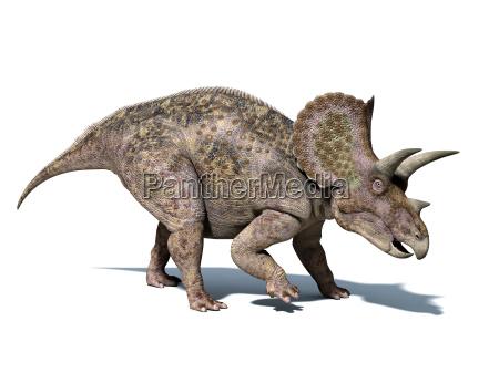 triceratops dinosaurier isoliert auf weissem hintergrund
