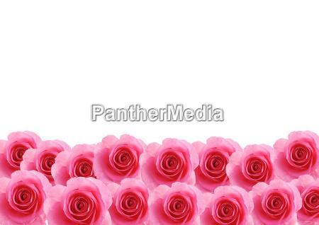 blume rose pflanze blumen liebhaben liebe