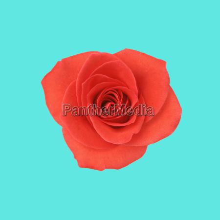 einzel freisteller blume pflanze gewaechs rose