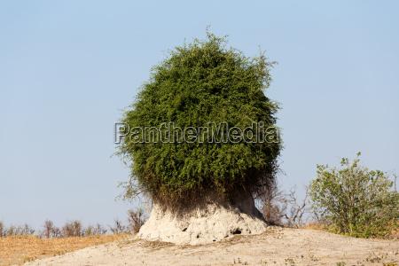 termitenhuegel bewachsen mit gruenen busch