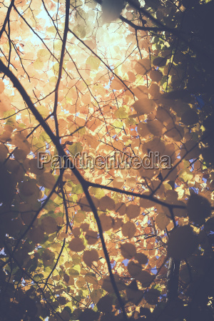 leaves in autumnal colors backlight