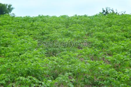 straeucher von kartoffelanbau