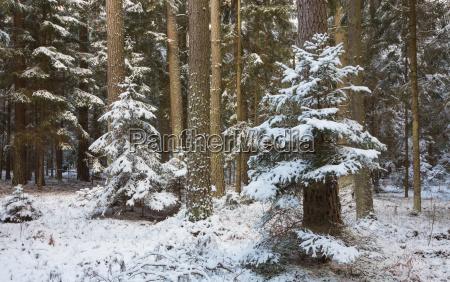 winterlandschaft des naturwaldes mit kiefernstaemmen und