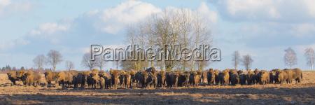 europaeische bison herde im winter sonnigen