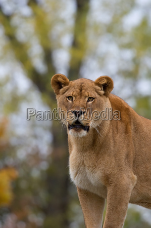 lioness in the wild a portrait