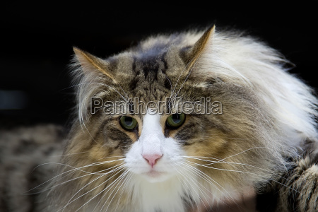 cat norwegian forest a portrait