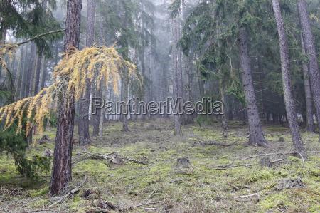 herbst nadelwald in den morgen nebel