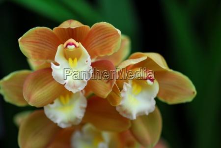 white brown cymbidium orchid flower