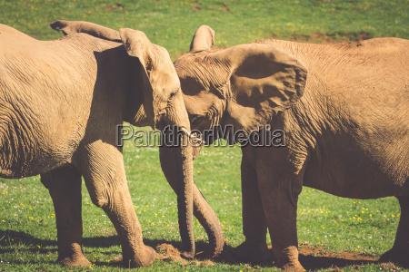 elefanten familie auf der afrikanischen savanne