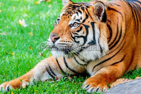 katze raubkatze grosskatze tiger