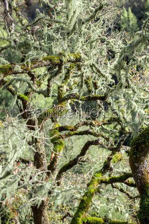 eiche bedeckt in lace lichen ramalina