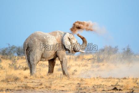 afrikanischer elefant in staub