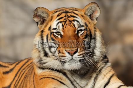 bengal tiger portraet