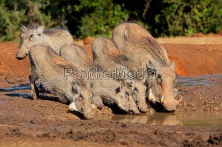 warthogs drinking water