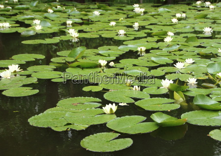 perspective, of, white, waterlily, in, pond - 15719086