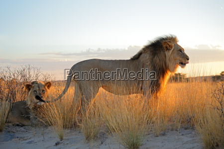 big maennlichen afrikanischen loewen