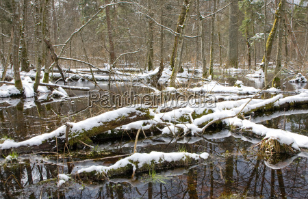 winterschnee alter wald mit wasser