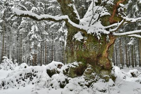eiche im schnee