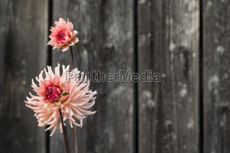 pink red flower with wooden fence
