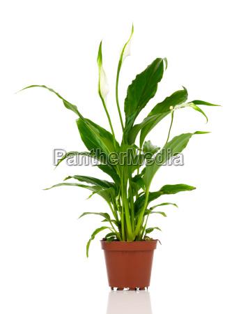 spathiphyllum oder zu deutsch scheidenblatt blattfahne