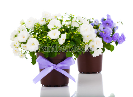 bellflowers campanula