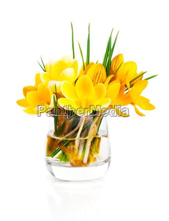 crocus vernus yellow spring crocus