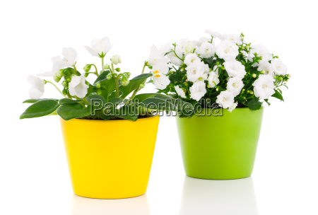 bellflowers campanula and saintpaulia