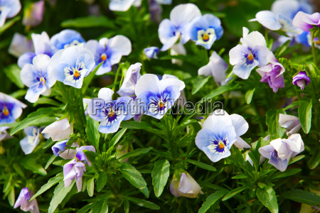 garden pansy pansy viola viola tricolor