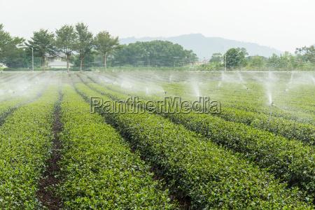 gruene teeplantationsfelder mit wassersprinkleranlage